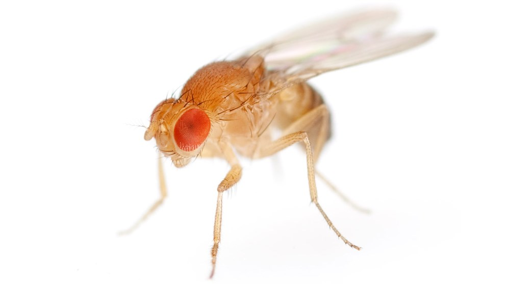 <strong>Fruit fly</strong><p>Picture/Credit: Antagain/istockphoto.com</p>